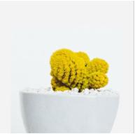 cactus amarillo