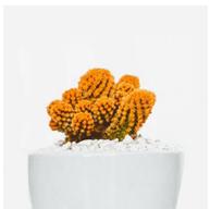 cactus naranja