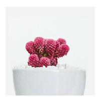 cactus rosa